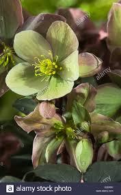 helleborus niger winter black hellebore