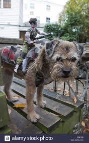 pet halloween costumes uk london uk 26 october 2014 border terrier