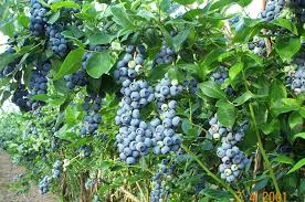 taiga native plants temperate climate permaculture permaculture plants blueberries