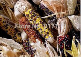 new home garden plant 10 seeds ornamental indian corn wampum zea