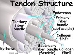 Tendons In The Shoulder Diagram Bicipital Tendonitis Houston Methodist