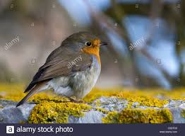 side view of a robin bird on lichen rock against blurred