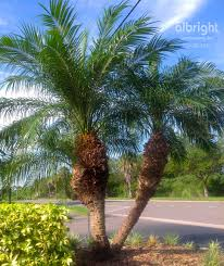 pygmy date palm roebelenii palm tree tropical landscape ideas