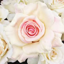 Shabby Chic Rose by Shabby Chic Romantic White Pink Rose Pastel Shabby Chic White