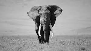 apple wallpaper elephant elephant black and white wallpaper 07888 baltana