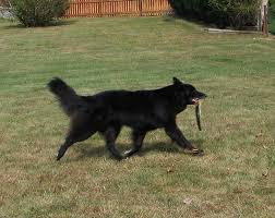belgian sheepdog oregon epix belgian sheepdogs litters