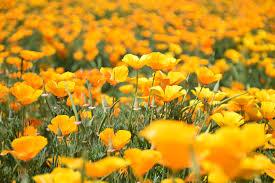 yellow flowers free images field meadow prairie petal flora