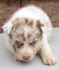 4 australian shepherd x dalmation australian shepherd puppies kijiji in ontario buy sell