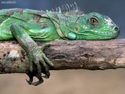 animals green iguana picture nr 15208