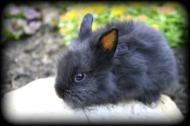 lion heads for sale beautiful lionhead bunny rabbits for sale usa rabbit breeders