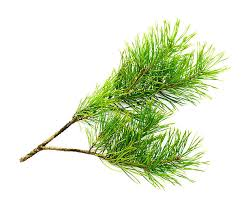 cedar trees pictures images and stock photos istock