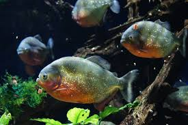 Freshwater Fish Popular Aquarium Fish Profiles