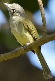 Scrub Vire scrub greenlet hylophilus flavipes