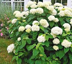 white hydrangea hydrangea arborescens annabelle white flower farm
