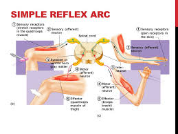 Biceps Reflexes The Nervous System The Reflex Arc Reflex U2014rapid Predictable And