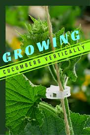 growing cucumbers vertically gardening know how u0027s blog