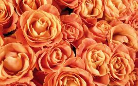 orange roses orange roses wallpaper flower wallpapers 53987