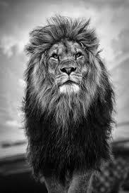 best 25 lion pictures ideas on pinterest lion lion couple and