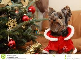 christmas tree and yorkie puppy royalty free stock images image
