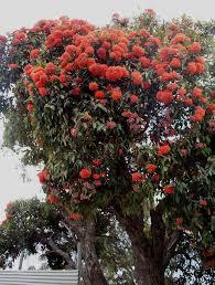 native western australian plants eucalyptus ficifolia western australian flowering gum mallee