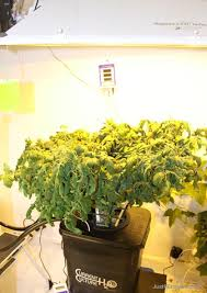 light requirements for growing tomatoes indoors pruning indoor plants for grow lights just for growers