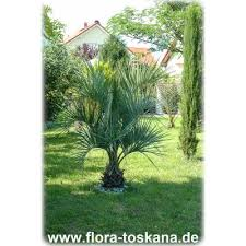 mediterraner stil palmen im garten auspflanzen