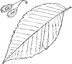 leaf clipart elm tree pencil and in color leaf clipart elm tree