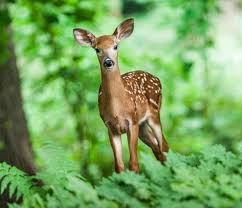 deer how to identity and keep deer out of your garden the old