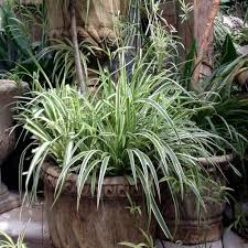 onlineplantcenter 1 gal variegated japanese sedge ornamental