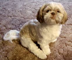 shih tzu with curly hair dog in a condo most popular breeds tips tricks vancouver homes
