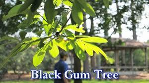 Wildfire Black Gum Tree by Black Gum Tree Beatiful Tree