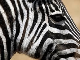 zebra u2013 tejanimals