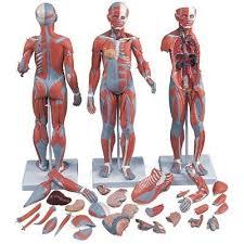 Female Anatomy Figure Anatomical Models Full Skeletons Models U0026 Figures Human Body