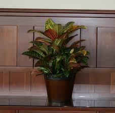 good croton indoor plants croton indoor plants gallery xtend