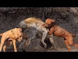 l american pitbull terrier a p b t top best video of apbt american pitbull terier youtube