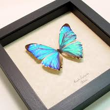 butterfly gifts morpho zephyritis iridescent blue morpho butterfly real