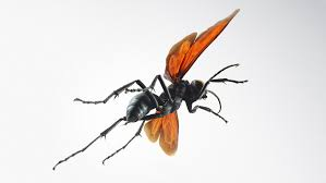 absurd creature of the week if this wasp stings you u0027just lie
