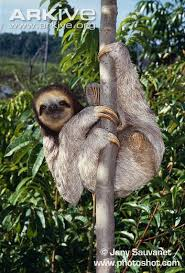 4 toed sloth pale throated three toed sloth photo bradypus tridactylus