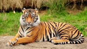 wallpaper full hd computer 44 tiger wallpapers hd tiger wallpapers and photos view hdq pictures