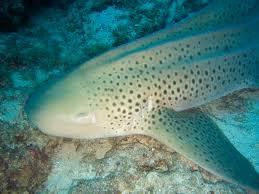 zebra shark wikipedia