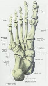 Foot Tendons Anatomy Foot Plantar Human Anatomy Bottom Foot Tendons Human Anatomy Charts