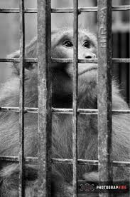lexus orangutan 36 best captivity images on pinterest zoos animal rights and berry