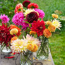 dahlias flowers dahlia flowers how to grow cut and arrange them