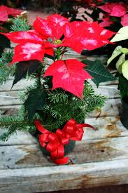 20 best poinsettia displays images on pinterest poinsettia