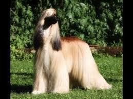 afghan hound weight find out everything about afghan hound u2013 working dog