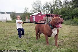 giant pit bull hulk u0027s 500 000 puppy litter