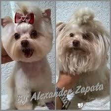 yorkie hair cut chart 263 best groom images on pinterest grooming dogs hair dos and