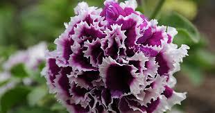 petunia flowers how to grow petunias