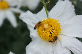 30 best native plant reference matilija poppy u201cqueen of california flowers u201d u2013 california native