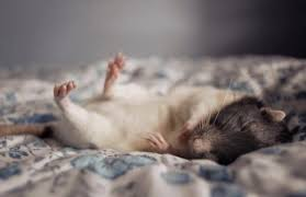 What Is The Best Bed Linen - what is the best bedding for pet rats pethelpful
